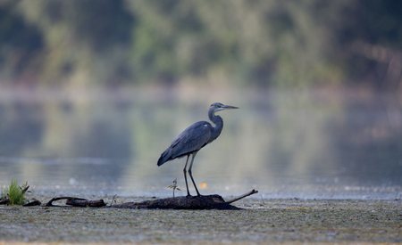 Gray heron standing on tree trunk in river. Forest in background. Wildlife in natural habitat Stock Photo