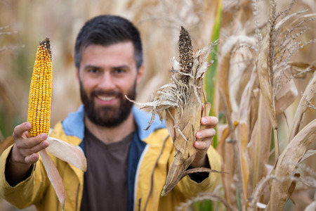 Farmer with beard showing two corn cobs, one healthy and other with disease Imagens - 86445422