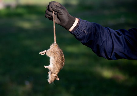 Farmer with protective gloves holding dead rat for tail on farm. Rodenticide concept in agriculture