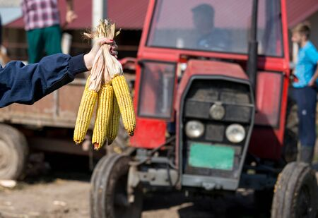 Close up of farmer womans hands showing bunch of corn cobs in front of tractor and workers on farmland