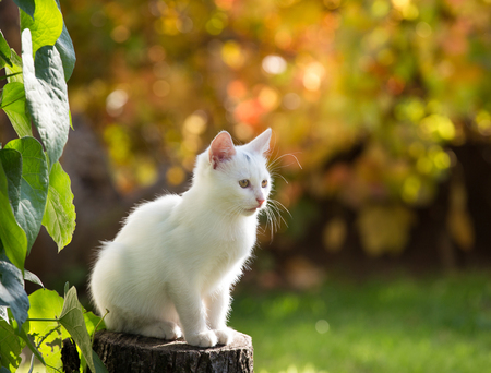 Adorable white cat sitting on stump in garden beside plant and looking in distance. Colorful background with autumn colors