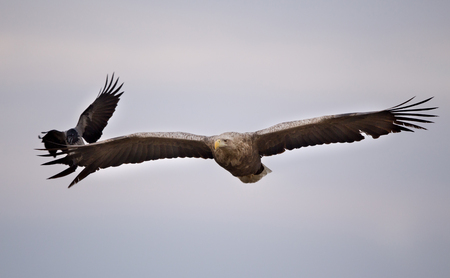 White tailed eagle (haliaeetus albicilla) flying and jackdaw following and fighting for prey on sky