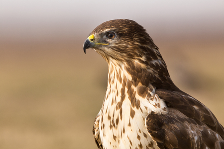 Portrait of buzzard in nature, with blurred background. Bird of prey in natural habitat