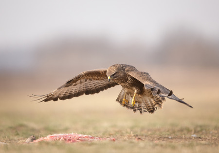 Buzzard eagle flying above prey in winter time. Birds in natural habitat