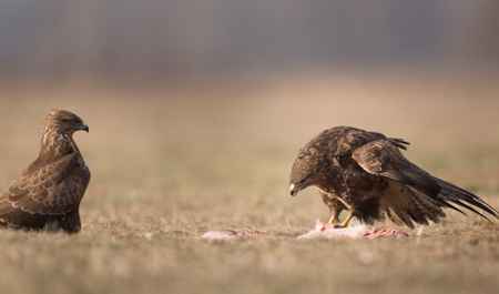 Two buzzards eagles standing and eating meat on grass field in winter. Birds of prey in natural habitat Stock Photo