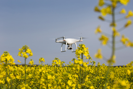 Drone flying above yellow rapeseed field. High technology and innovation in agriculture