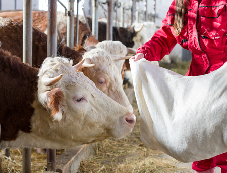 Young farmer woman in overalls feeding cows with concentrate from sack in stable