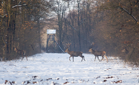Three red deers walking on meadow in forest on snow with watchtower in background. Wildlife in natural habitat
