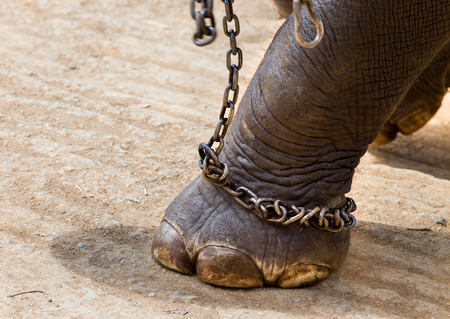 Close up of elephant's leg with hard chains in Sri Lanka Stockfoto