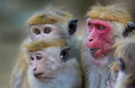 Portrait of cute monkey family (Macaca Sinica), mother with red face and few baby animals