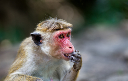 Portrait of adult monkey with red face (Macaca Sinica protected specie) licking his hand in botanical garden of Sri Lanka