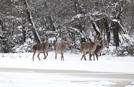 Group of hinds (red deer female) walking on snow in forest. Wildlife in natural habitat