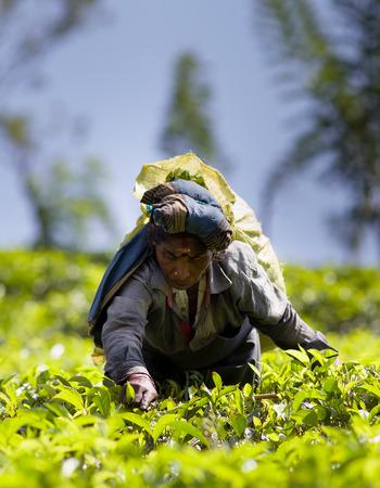 NUWARA ELIYA, SRI LANKA - FEBRUARY 16, 2018 : Portrait of undefined labor woman picking fresh tea leaves on plantation of Nuwara Eliya region in Sri Lanka, February 16, 2018. Editorial