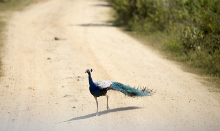 Beautiful bird blue peacock walking on dirt road in national park of Sri Lanka Stock Photo
