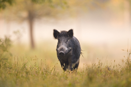 Wild boar (sus scrofa ferus) walking in forest in fog and looking at camera