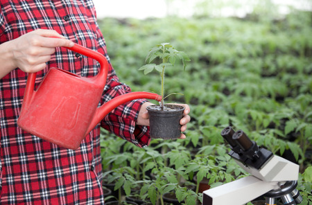 Close up of female farmers hand holding tomato seedling in flower pot and watering in greenhouse  Stock Photo