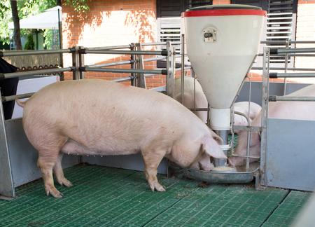 Landrace pig eating from plastic hog feeder on modern plastic flooring on ranch