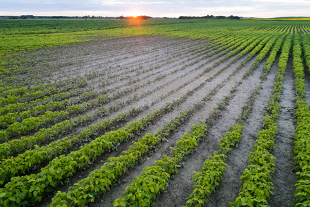 Aerial view of soybean field with problematic parts of ground during drought period Stock Photo