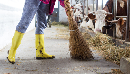 Female farm worker with gumboots brooming cattle stable with cows in background Stock Photo