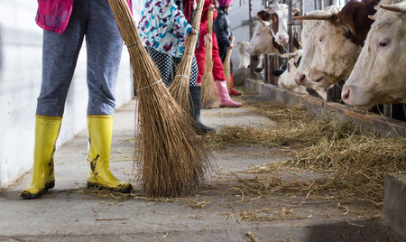 Female farm workers with gumboots brooming cattle stable with cows in background