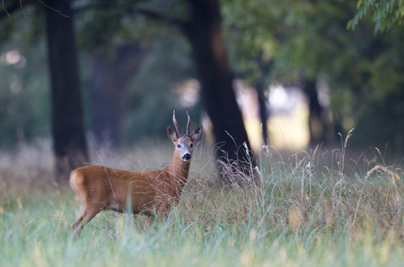 Curious roebuck walking in high grass in forest, Wildlife in natural habitat