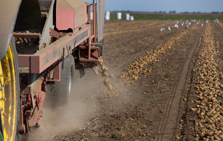Agricultural machinery pulled by tractor harvesting potatoes in field in late summer