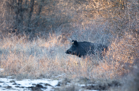 Wild boar (sus scrofa ferus) walking on snow in forest. Wildlife in natural habitat Banco de Imagens