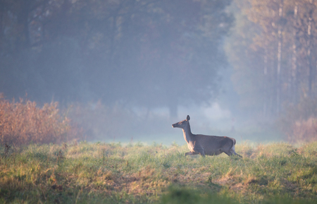 Hind (red deer female) running in forest on foggy morning. Wildlife in natural habitat Фото со стока
