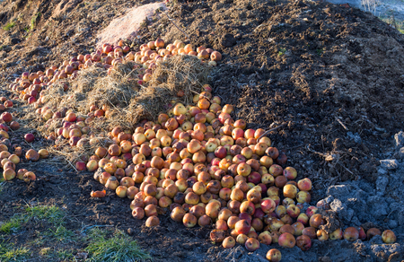 Apples and other organic waste on pile in garden. Compost and environmental conservation concept