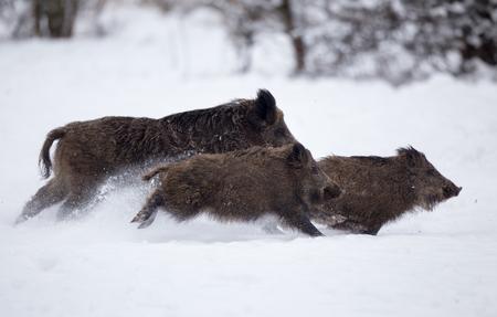 Trois sangliers s'exécutant sur la neige en forêt. La faune dans l'habitat naturel