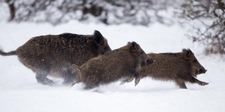 Trois sangliers s'exécutant sur la neige en forêt. La faune dans l'habitat naturel Banque d'images