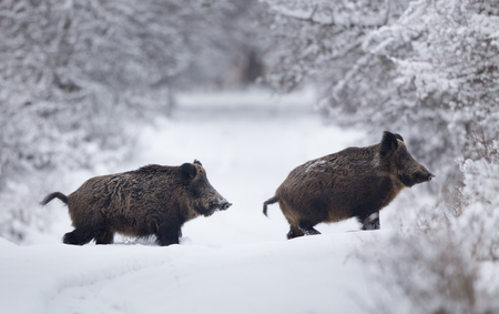 Wild boars walking on snow in forest. Wildlife in natural habitat