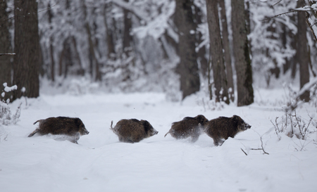 Wild boars running on snow in forest. Wildlife in natural habitat