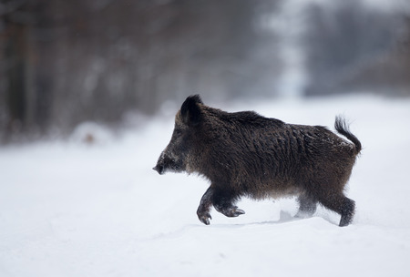Wild boar running on snow in forest. Wildlife in natural habitat