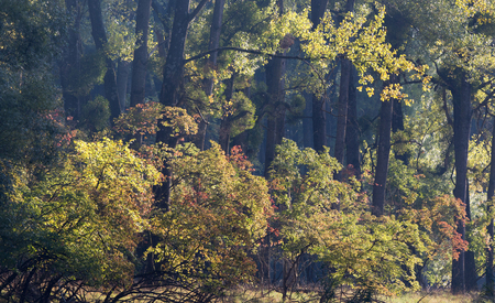 Forest landscape in late summer with old oak trees in morning light