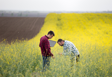 Two farmers with laptop standing in rapeseed field and examining blooming