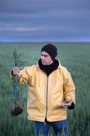 Farmer holding barley stems with roots and tablet in field in spring