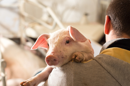 Portrait of cute piglet on farmer's shoulder at veterinarian
