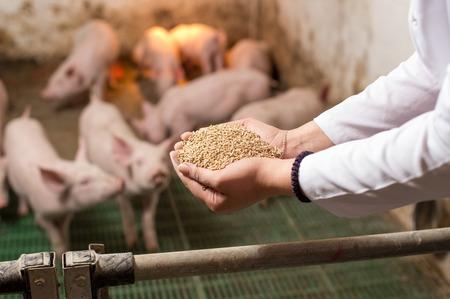 Veterinario che tiene in mano cibo secco in granuli e offre ai suinetti nella stalla