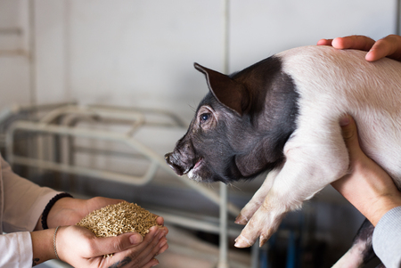 Veterinarian holding dry food in granules in hands and offering to piglet in stable