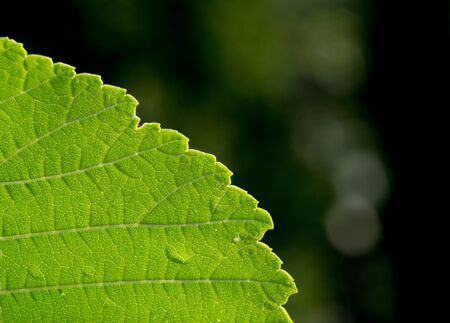 Close up of elm leaf (Ulmus) with fresh green color and texture