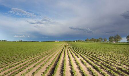 Plántulas de soja jóvenes sembradas en filas a principios del verano, disparan desde drone