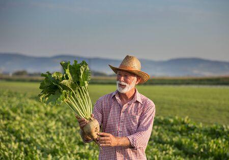 Älterer Bauer mit Strohhut, der im Sommer große reife Zuckerrüben auf dem Feld hält