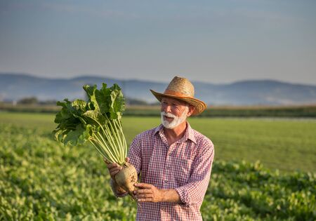 Senior farmer with straw hat holding big ripe sugar beet in field in summer time Archivio Fotografico