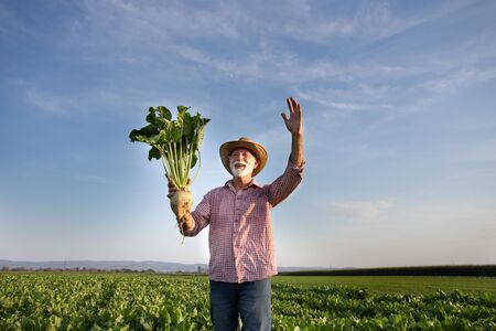 Satisfied senior farmer with straw hat holding big ripe sugar beet in field in summer time