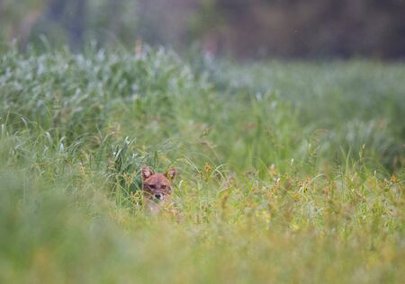 Golden jackal (canis aureus) peeking out from high grass on meadow. Wildlife in natural habitat Stock Photo