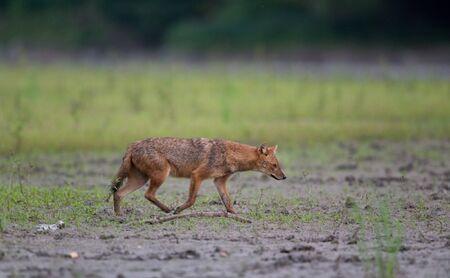 Golden jackal (canis aureus) walking on mud beside river. Wildlife in natural habitat Stock Photo