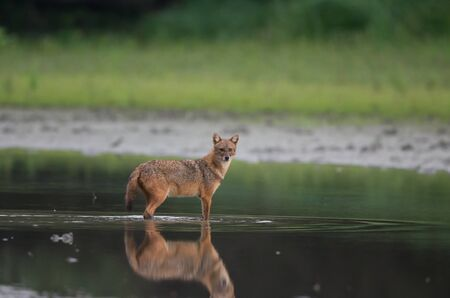 Golden jackal (canis aureus) standing in shallow water and looking at camera. Wildlife in natural habitat