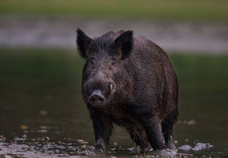 Wild boar (sus scrofa ferus) standing in shallow water and looking in camera. Wildlife in natural habitat 版權商用圖片