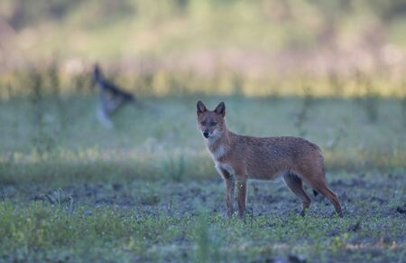 Golden jackal (canis aureus) standing on meadow and looking at camera. Wildlife in natural habitat